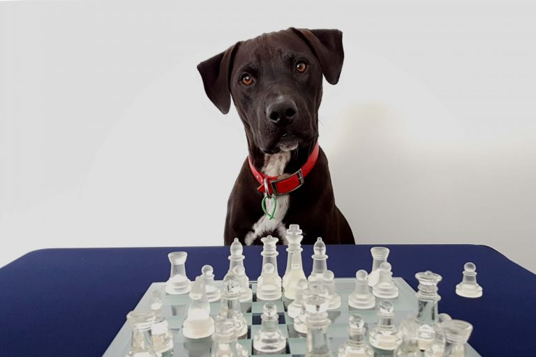 Two Player Board Games - Mr Cosmo the dog plays chess
